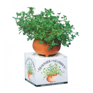 Grow Your Own Irish Shamrock